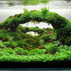 For tips and online plant shopping: aquescaping.com #aquariumtipsfreshwater