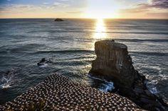 Golden light at Muriwai Beach, Auckland! #sunset #muriwai #beach #sea #auckland #nz #newzealand