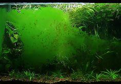 Alga tájékoztató, alga elleni védekezés Green Aqua Green Algae, Water Quality, Fish Tank, Aqua, Plants, Fishbowl, Water, Aquarium, Aquarium Fish Tank