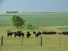 With a history of more than 60 years of producing consistent, high performance breeding stock, Maass Angus is an unrivaled source for quality purebred Angus herd sires. www.redmeatmarket.com