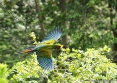 Ara di Buffon - Great Green Macaw - Ara ambigua