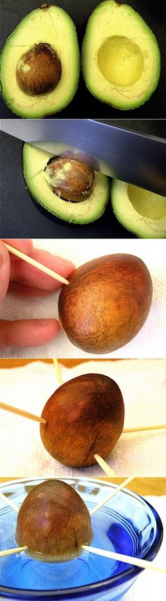 >Basically you : Eat an avocado (fun part) Clean-off the pit Suspend it over a dish of water with toothpicks (half-submerged) Wait 3 to 6 weeks for it to sprout Simple enough, right? Now, I can't guarantee that you'll have fruit for even a year or two, but it's worth the wait.