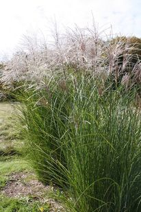 Miscanthus sinensis 'Autumn Light' (Autumn Light Japanese silver grass)