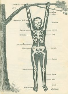 skeleton @Scientific Illustration