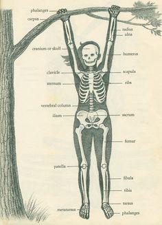 skeleton @Scientific Illustration