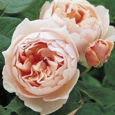The Shepherdess - A most charming rose with flowers of medium size and deep, open-cupped shape. Their colour is a lovely rich apricot pink, that fades on the outer petals to pale apricot while remaining the same at the centre; adding up to a delightful mixture.     There is a lovely fruity rose fragrance with hints of lemon.     This is a healthy variety of rather upright, bushy growth. It is ideal for the front of the border, but might also be used for a more formal setting in a rose bed…