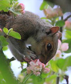 Smell the spring eekhoorn Beautiful Creatures, Animals Beautiful, Baby Animals, Cute Animals, Wild Animals, Funny Animals, Photo Animaliere, Cute Squirrel, Squirrels