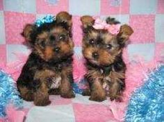 Charming Yorkshire Terrier Puppies for Re-Homing. The Yorkshire Terrier Puppies are current on their vaccinations and veterinary comes with all necessary documents.they are pure Breed Yorkshire Terrier Puppies,Champion line, which agrees with the kids and other pets.They are seeking approval to any lovely and caring home.Return to us with your Phone number for more information or contact (babarawlem@gmail.com) or text(406) 285-7859,for Re-homing procedures and pictures.. Please contact