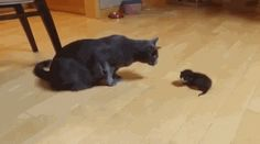 Haloo My Son ... Are You Okay See this cat in action here http://pewpaw.com/video-6-week-old-cute-kitten-first-day-home/ …