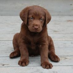 chocolate lab puppy. So adorable.