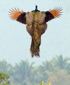 Have you ever seen a peacock in full flight?  This is our first opportunity for this.  We never imagined that it could be so magnificent -- like a phoenix in fairy tale!!
