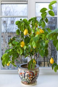 Grow Citrus Plants Indoors   my meyer lemon sure doesn't look this good...yet!