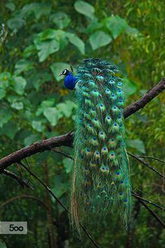 peacock train | bird photography #peafowl