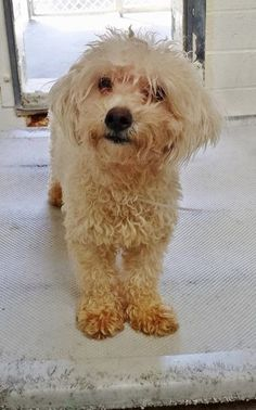 This little girl is just 2 and super cute. Please SHARE, she needs some help and a FOSTER would save her sweet life. Thanks!  #A4828880 I'm an approxi 2 year old female poodle toy. I have been at the Carson Animal Care Center since May 11, 2015. You can visit me at  C243.  http://www.petharbor.com/pet.asp?uaid=LACO1.A4828880  Carson Shelter, Gardena, California