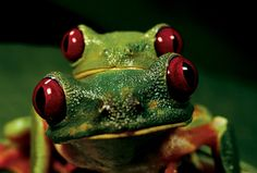 It's a Frog's Life - National Geographic Magazine Animals And Pets, Cute Animals, Frog Pictures, Frog Life, Red Eyed Tree Frog, Picture Tree, Owl Pet, Red Tree, Frog And Toad