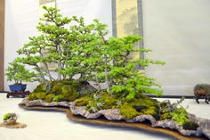Wessex Bonsai Show