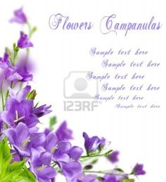 Blue flowers campanula on white background