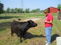 mini cow info primarily Lowline Angus