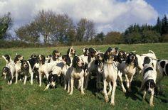 ariegeois photo | Grupa psów myśliwskich rasy Ariegeois