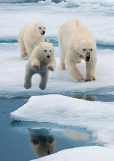 Polar bears jumping across ice floes