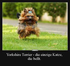 Yorkshire Terrier - die einzige Katze, die bellt. | Lustige Bilder, Sprüche, Witze, echt lustig