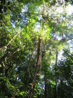 Fisionomia: Floresta Ombrófila Densa Submontana (entre 50 e 500m). Local: Duque de Caxias/RJ.