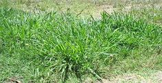 Kill crabgrass before it dominates the world! Learn the best ways to wipe out crab grass and the dangers of doing it wrong. So many weeds, so little time. Lawn And Garden, Indoor Garden, Lawn Care Tips, Weed Killer, Weed Control, Flower Beds, So Little Time, Backyard Landscaping, Grass