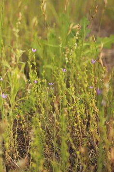 """mi casita en el bosque: Flores silvestres en primavera ♥   """"Triodianis Perfoliata"""""""