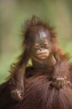 Orangutan baby...OMG  how adorable!
