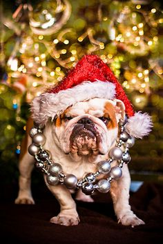 The major breeds of bulldogs are English bulldog, American bulldog, and French bulldog. The bulldog has a broad shoulder which matches with the head. Merry Christmas, Christmas Dog, Christmas Lights, Christmas Scenes, Christmas Morning, I Love Dogs, Cute Dogs, Rambo 3, Funny Animals