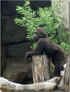 Gorilla di Montagna - Bongo
