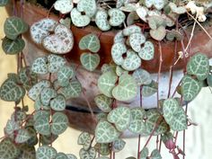 Conseils de culture et d'entretien pour le ceropegia ou chaîne des coeurs, une plante grasse à cultiver comme une plante d'intérieur.
