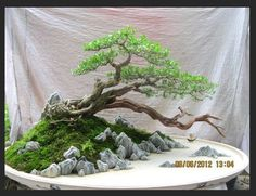 Bonsai - beautiful wind-swept form