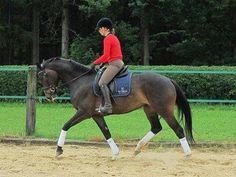 Oldenburger zu verkaufen: Stute, Dunkelbrauner, 5 Jahre in Walsrode, Niedersachsen, Deutschland (Caballo-ID: HA002344) | Caballo Horsemarket