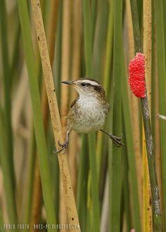 mis fotos de aves: Junquero [Phleocryptes melanops] Wren-like rushbir...
