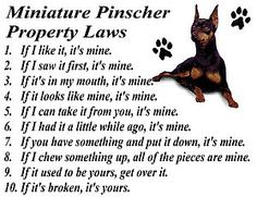 Min Pin Property Laws lol definitely trevor except he's rather submissive. He's a scavenger so the second you're out of sight he gets it
