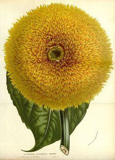 Helianthus Californicus Insignis: taken from 'Flore des serres et des jardins de l'Europe' (1862-1865), Louis van Houtte