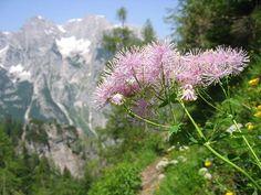 Commixta) Media Sombra, Delphinium, Ranunculus, Clematis, Natural, Planting Flowers, Dandelion, Bloom, Plants
