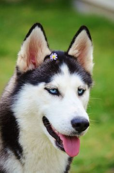 This is Luna my beautiful girl and Alpha of the pack. #SiberianHusky