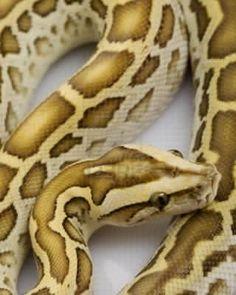 Photo about Hypo Burmese Python (Python molurus bivittatus) on white background. Image of species, curve, white - 7283975 Python Snake, Ball Python, Reticulated Python, Burmese Python, Cool Snakes, Horse Mane, Snake Art, Cute Snake, Beautiful Snakes