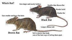 Brown Rat vs. Brown Rat #education #rodents