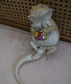In honor of the 40th Anniversary of the Rubick's Cube, we present you with this lizard and his cube.