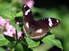 Great Eggfly Hypolimnas bolina   © James Laurie