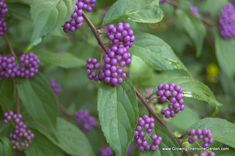 Beautyberry (Callicarpa dichtoma) – Growing The Home Garden Tiny White Flowers, Cool Plants, Garden Plants, Shrubs, Berries, Home And Garden, Lawn And Garden, Shrub, Bury