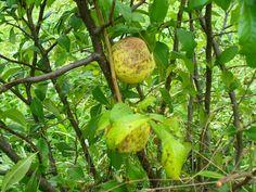 Przepisy i porady kulinarne: Konfitura z owoców pigwy.