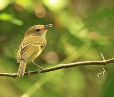 Foto ferreirinho-de-testa-parda (Poecilotriccus fumifrons) por Thiago Rodrigues. | Wiki Aves - A Enciclopédia das Aves do Brasil