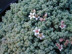 Sedum dasyphyllum : forms a very dense gray carpet, pink flowers with buttons...its little rosettes are sooo tiny !
