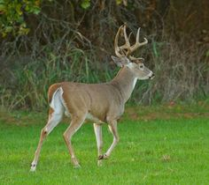 Buck Pictures Whitetail Deer | Whitetail buck | Flickr - Photo Sharing!