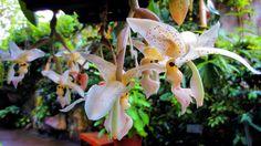 Orchid, Stanhopea gibbosa
