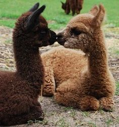 Alpaca Love! #alpacas #love #animallove